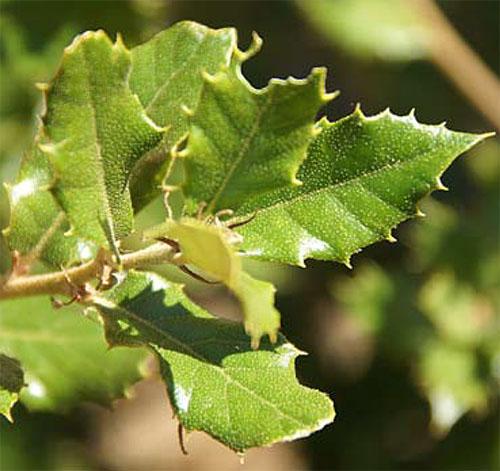 Quercus aucheri