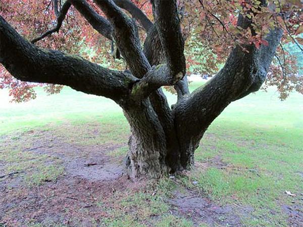 Een fraaie oude Prunus cerasifera in Parc Barbieux Foto: Eddy Olthoff