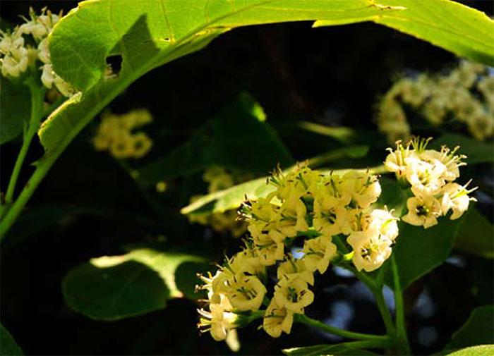 De zeldzame Ehretia dicksonii
