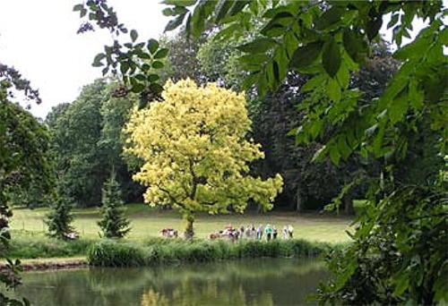 Fraxinus excelsior 'Aurea' op het landgoed Vliek in Ulestraten