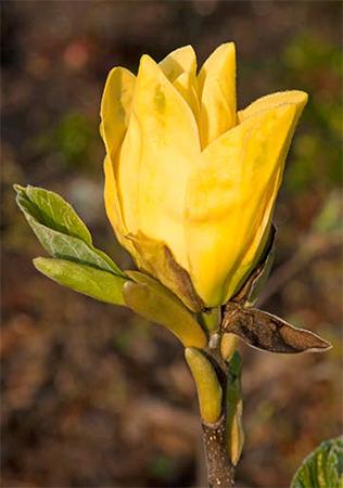 Magnolia 'Daphna'