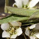 Oemleria cerasiformis vrouw
