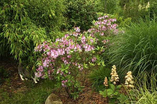 In het enthousiaste verhaal van Wiecher Huisman over Ericaceae kwam ook deze Rhododendron 'Gowenianum' aan de orde.