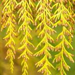 Wriddingtonia whytei