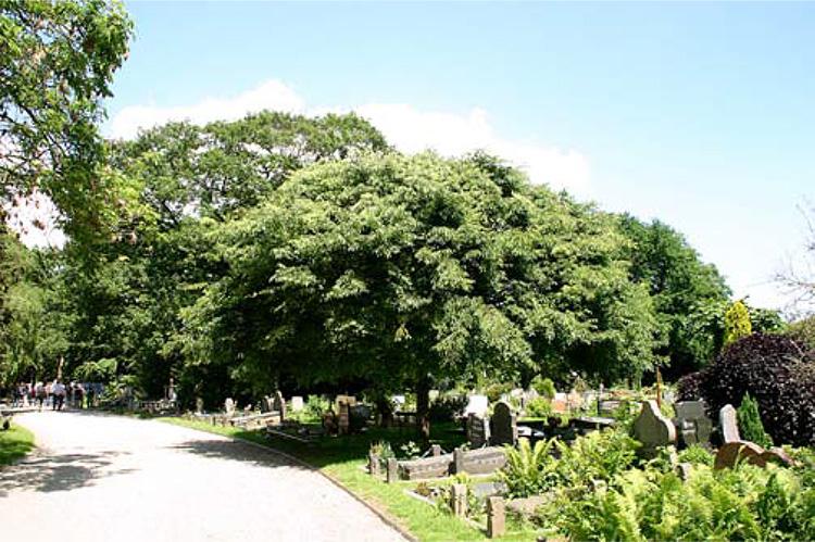 Zelkova serrata op begraafplaats Zorgvlied.