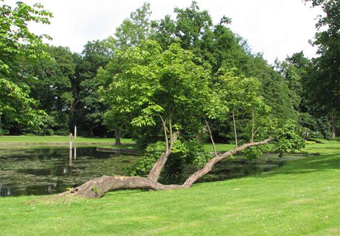 Een vermoeide Aesculus hippocastanum leeft toch weer op in het Raadhuispark in Vught