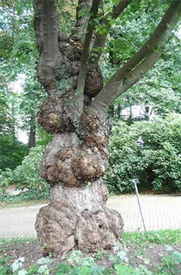 De bijzondere stam van Acer saccharinum.
