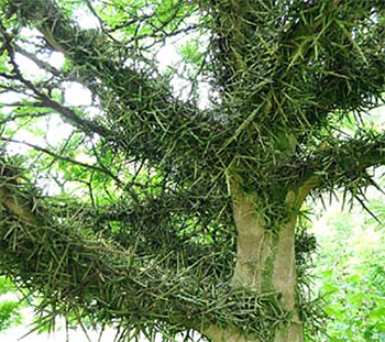 Gleditsia japonica (Japanse christusdoorn) altijd weer indrukwekkend (Botanische Tuin Kerkrade)