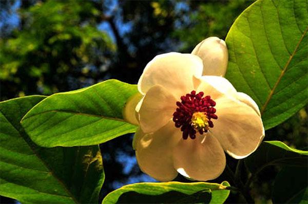 Magnolia sieboldii ssp sieboldii in volle bloei