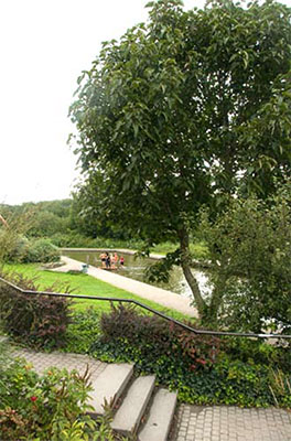 Populus lasiocarpa in het Nordsternpark Gelsenkirchen