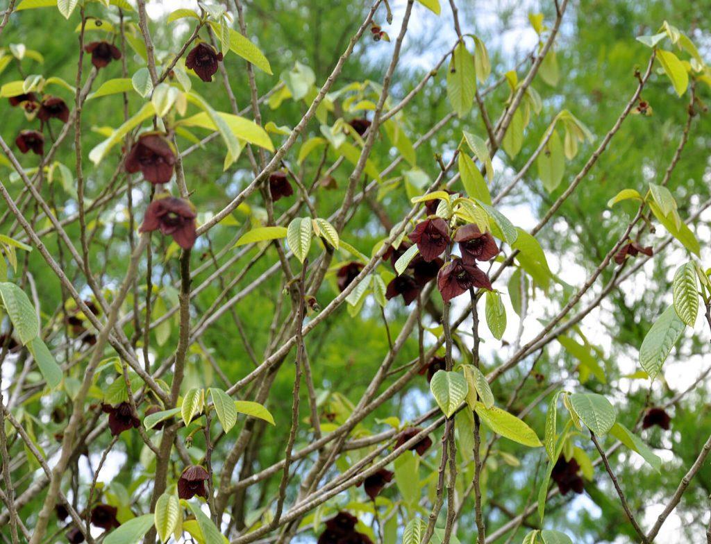 Aantrekkelijke struik voor in het voedselbos: de bloei van <i>Asimina triloba</i>