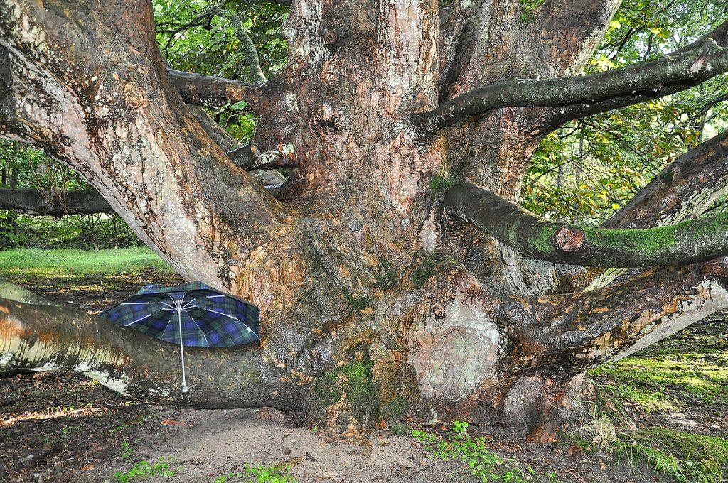 <i>Acer pseudoplatanus</i>  –  de paraplu geeft een indruk van de omvang