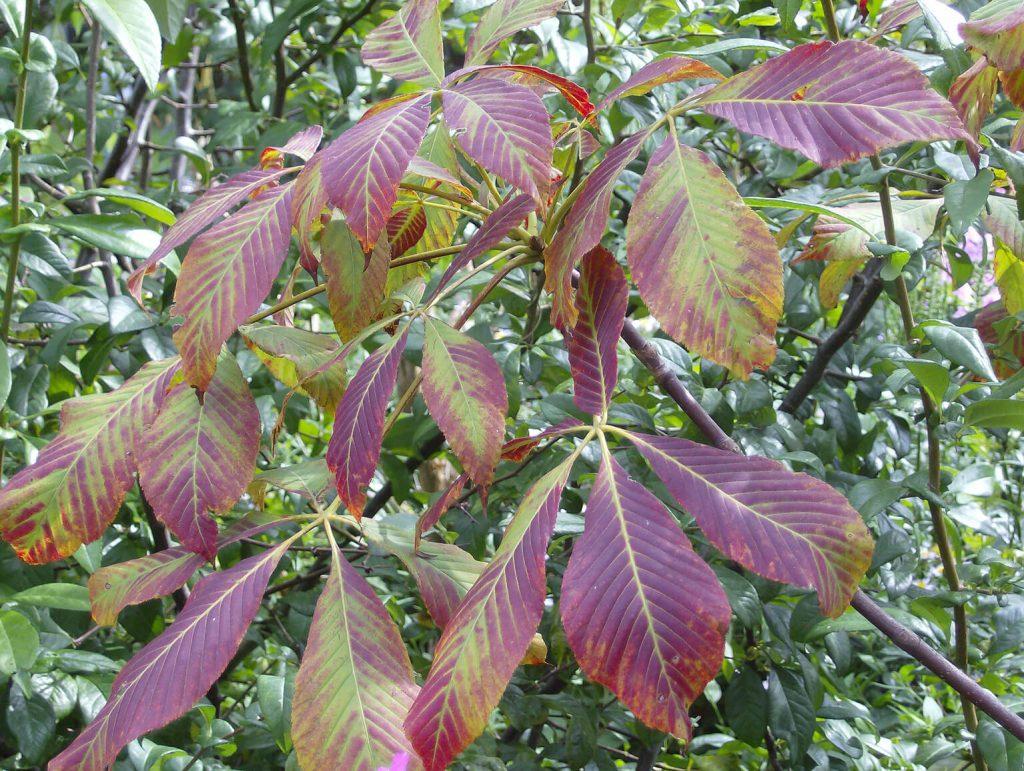 <i>Aesculus</i> 'Chocolate Autumn' in augustus
