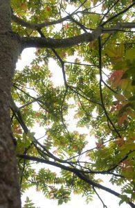 <i>Ailanthus altissima</i>