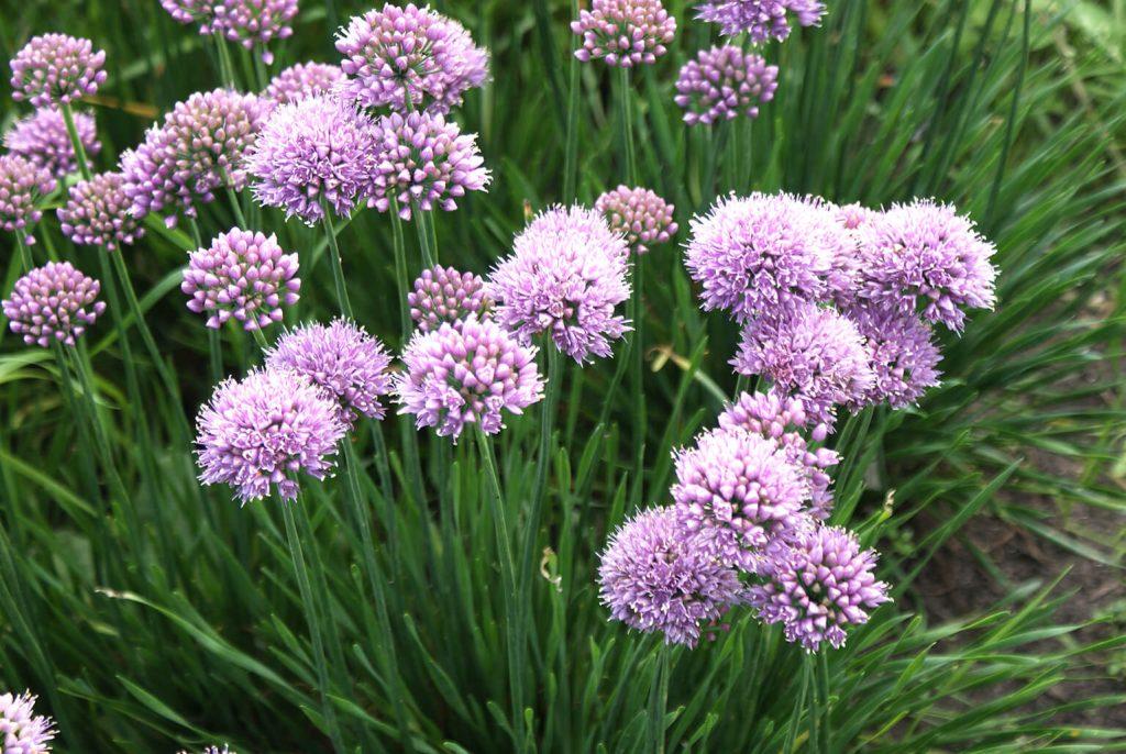 <em>Allium lusitanicum</em> 'Lisa Blue'