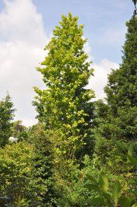 <i>Alnus glutinosa</i> 'Thillie Trompenburg' Foto: Gert Fortgens