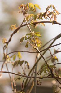 Bij Akebia quinata zijn de bladeren meestal uit vijf blaadjes samengesteld