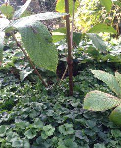 <i>Cardamine trifolia</i> als onderbegroeiing