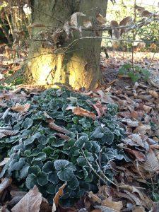 <i>Cardamine trifolia</i> met berijpt blad