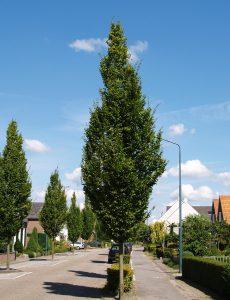 <i>Carpinus betulus</i> 'Frans Fontaine' in Moergestel