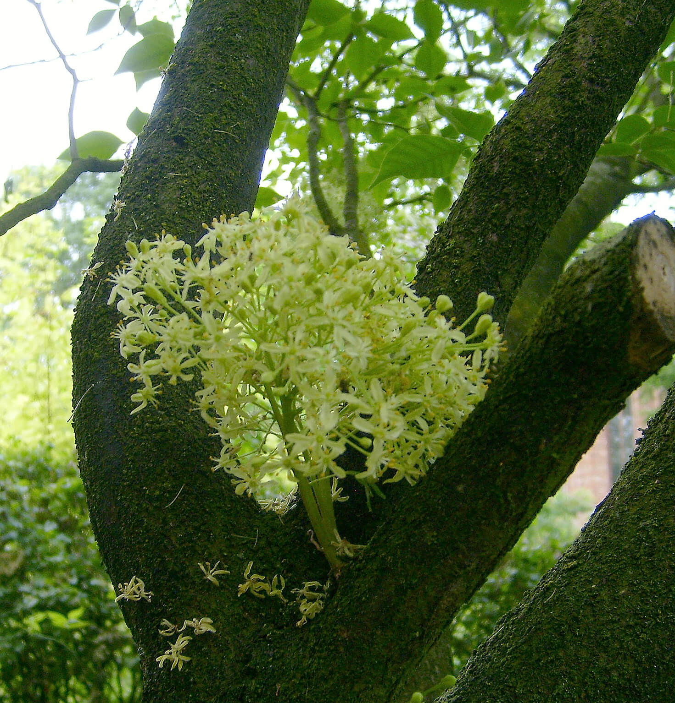 Cauliflorie op <i>Ptelea trifoliata</i> arboretum Horssen