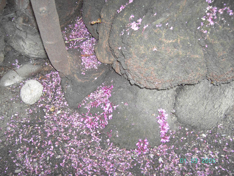 Cauliflorie op een eeuwenoude <i>Cercis siliquastrum</i> te Colmar (Fr.)