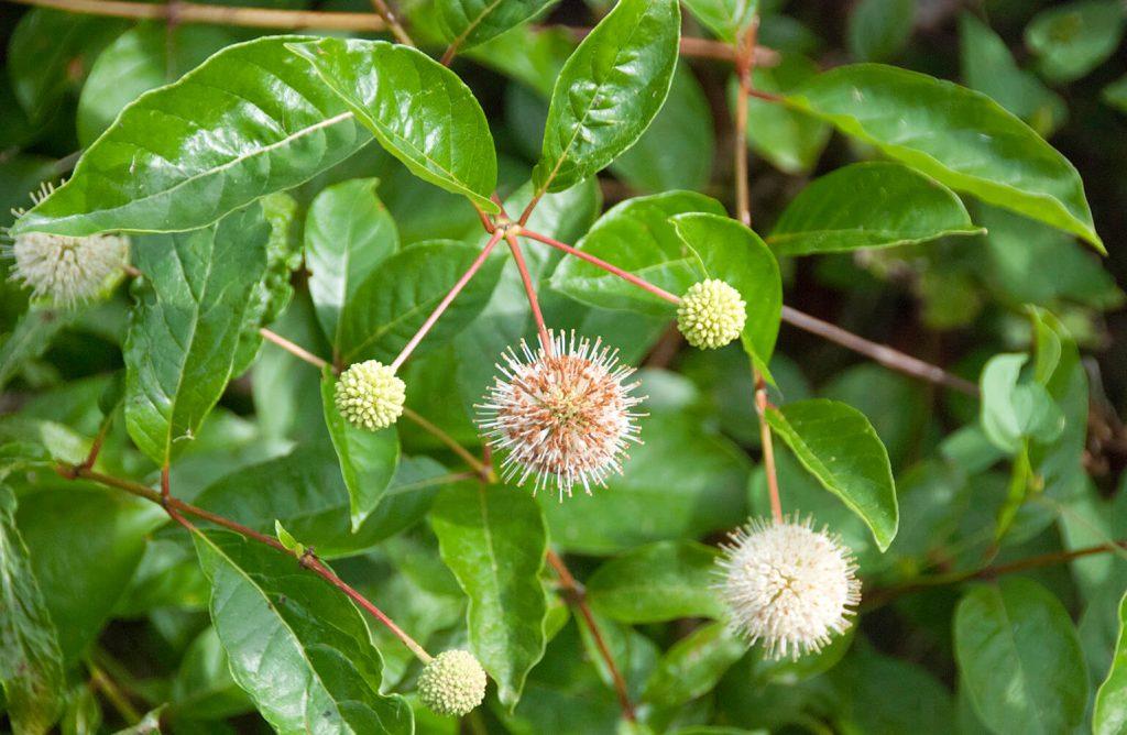 <i>Cephalanthus occidentalis</i> met de bloeiwijze in een trosje van drie