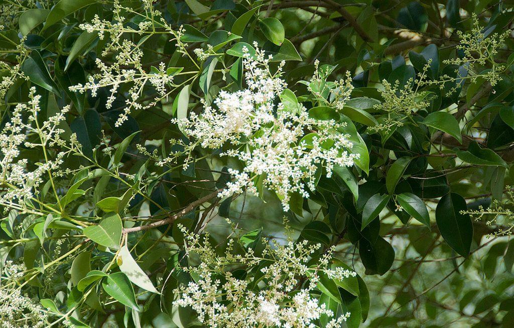 Close-up van de bloeiwijze van <i>Ligustrum lucidum</i>
