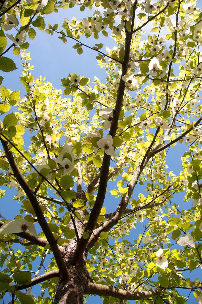 <i>Davidia involucrata</i> in volle bloei