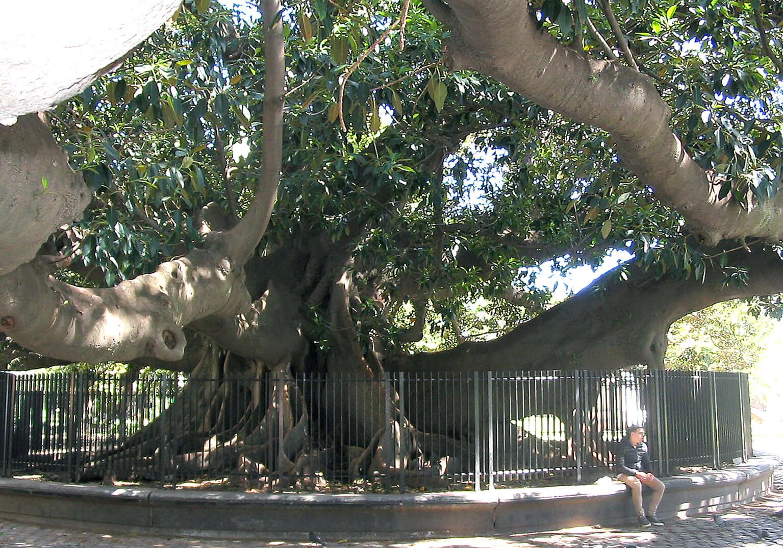 De immense afmeting van <i>Ficus macrophylla</i>