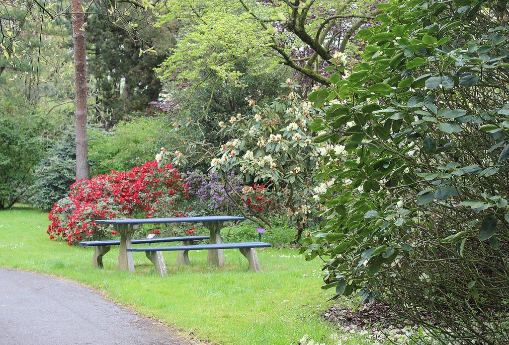 De rode <i>Rhododendron</i> 'Baden-Baden' springt direct in het oog