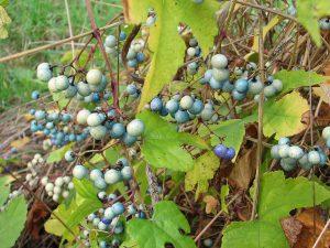 De vruchten van <i>Ampelopsis glandulosa</i> Foto: Wout Kromhout