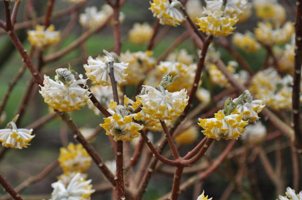 <i>Edgeworthia chrysantha</i>, bloemen in detail<br> Foto: Gert Fortgens