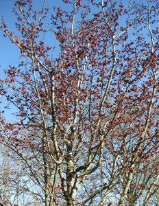 Een bloeiende <i>Parrotia persica</i> 'Vanessa'