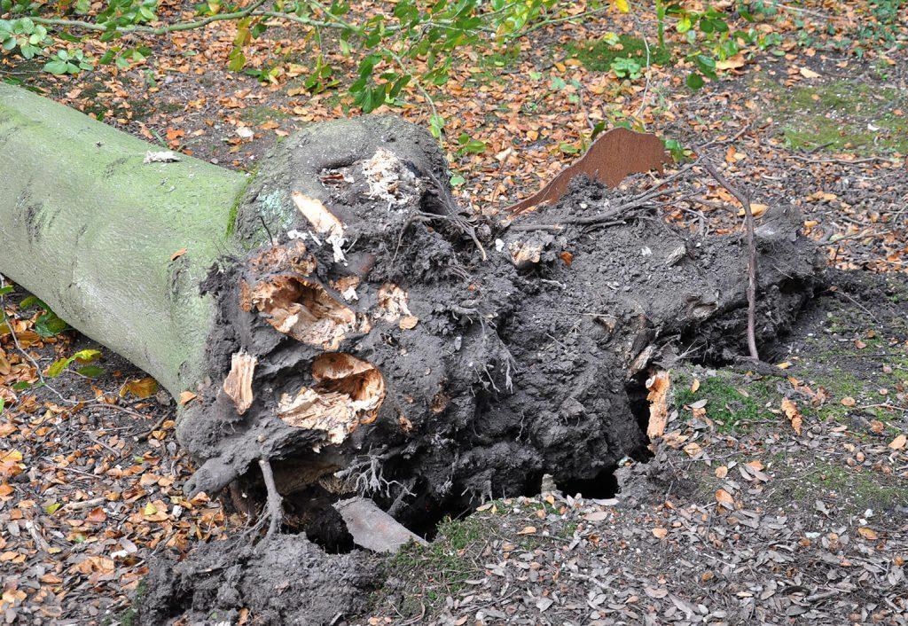 Een deel van de wortelkluit zit nog in de grond