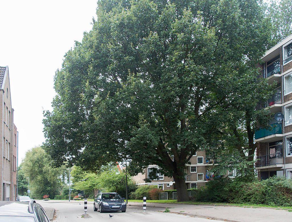 Een fraaie majestueuze <i>Quercus frainetto</i> in een Schiedamse straat