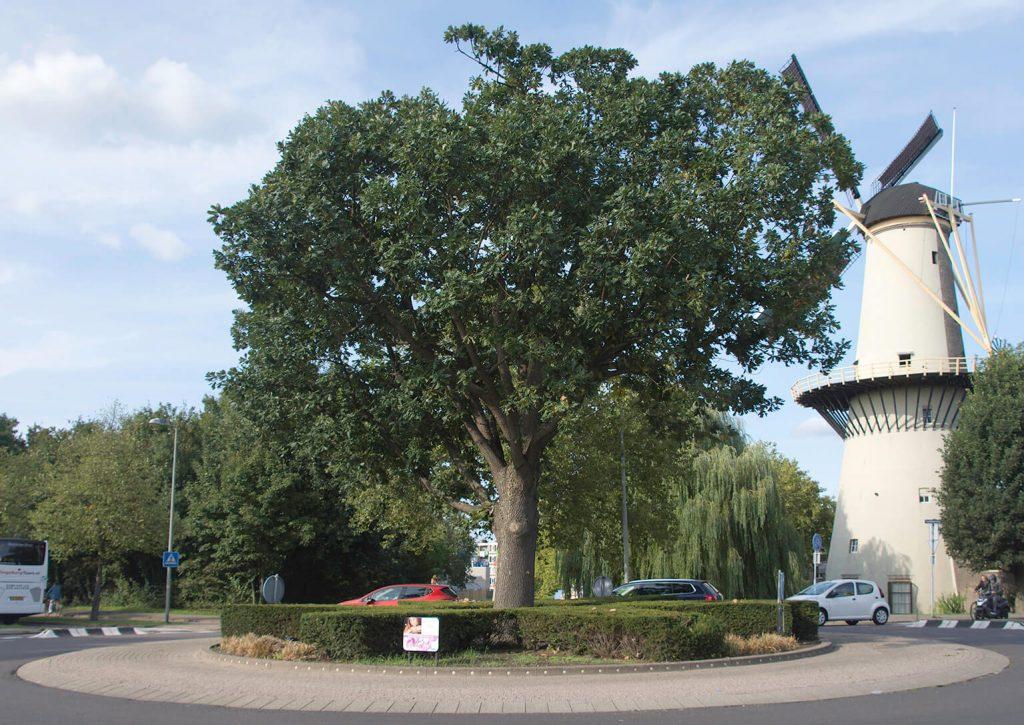 Een volwassen <i>Quercus frainetto</i> op een rotonde in Schiedam