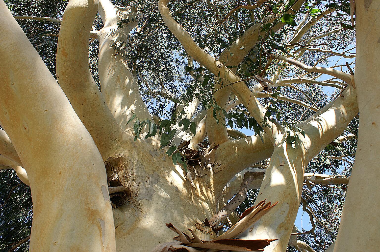 <i>Eucalyptus dalrympleana</i>