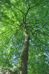 <i>Fagus sylvatica </i> 'Aspleniifolia'