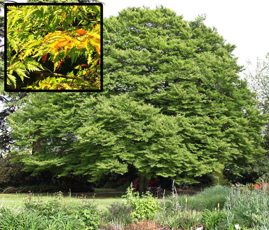 <i>Fagus sylvatica</i> 'Aspleniifolia' met bladdetail
