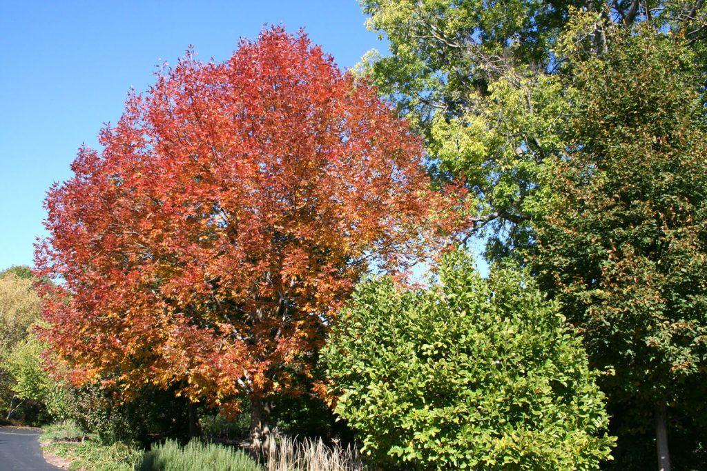<em>Fraxinus americana</em> 'Rosehill'