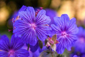 <i>Geranium</i> 'Sabani Blue'