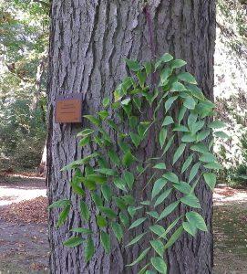 Blad <i>Gymnocladus dioica</i>