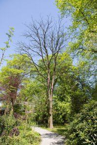 <i>Gymnocladus dioica</i> zonder blad