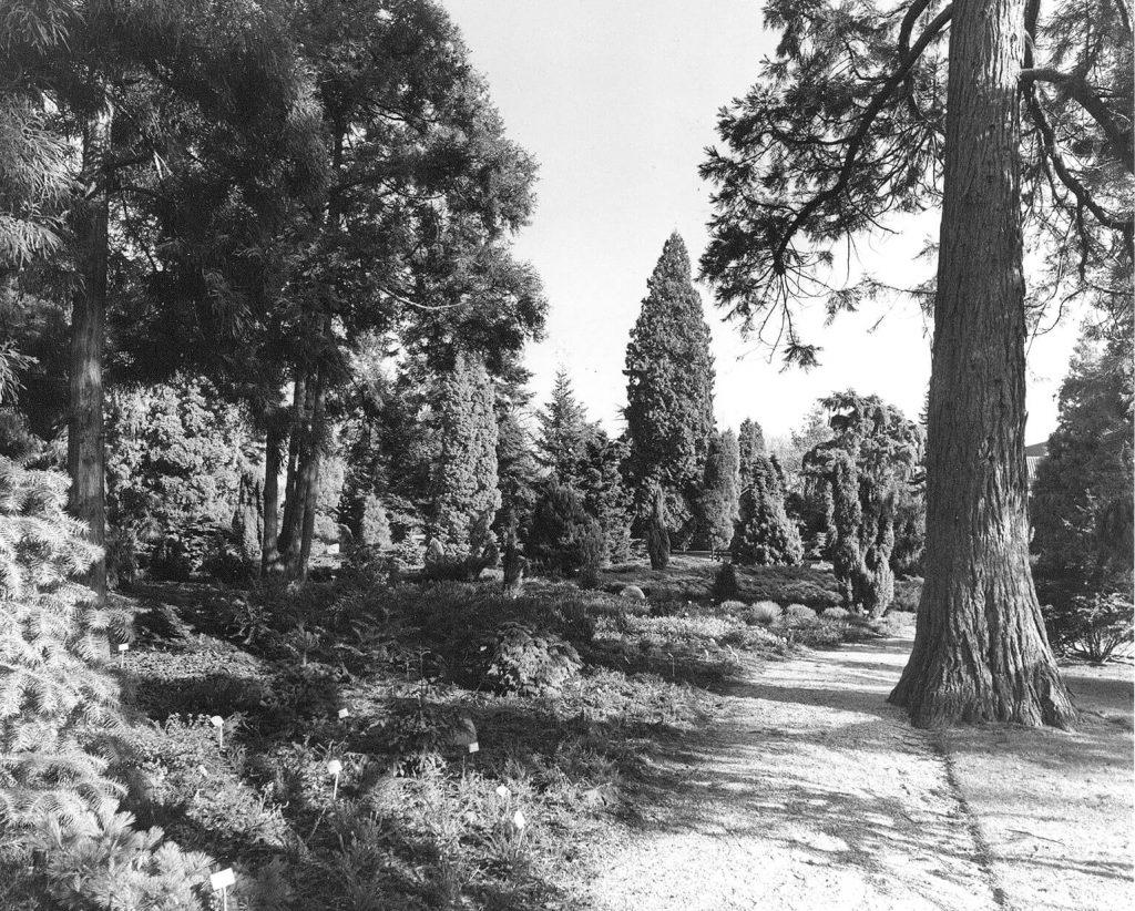 Het pinetum in de jaren zestig van de vorige eeuw<br> Foto: Archief Blijdenstein
