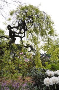 Kroonsilhouet van de treurhoningboom in het vroege voorjaar, Trompenburg