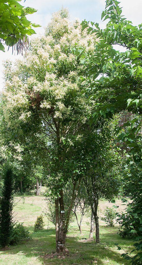 <i>Ligustrum lucidum</i> in volle bloei