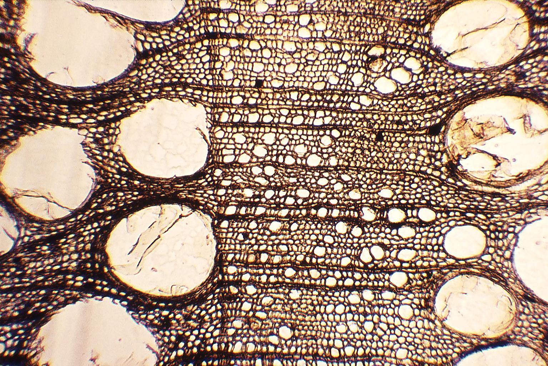 Loofhout (<i>Quercus</i>) met ringporigheid – in het voorjaar ontstaan meer ringen en met grotere vaten dan bij het later (zomer) gevormde hout