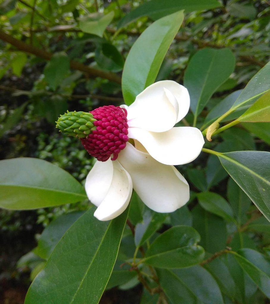 <em>Magnolia</em> 'Buksenwhite' in Domein Bokrijk