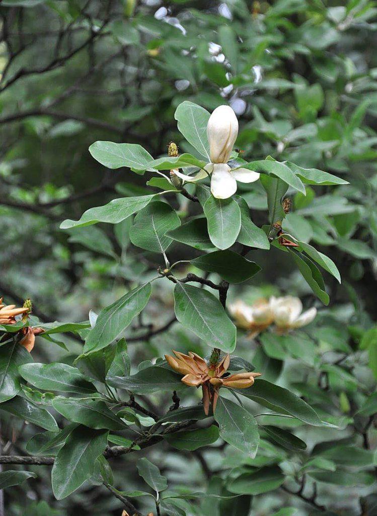 <i>Magnolia virginiana</i>